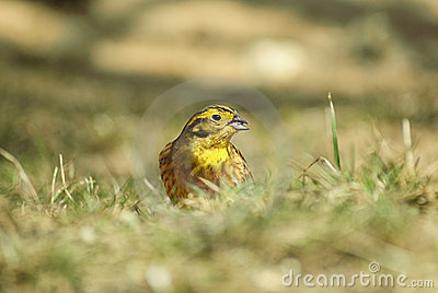 Yellowhammer on grass