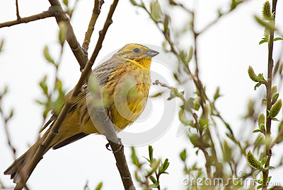 Yellowhammer na gałąź