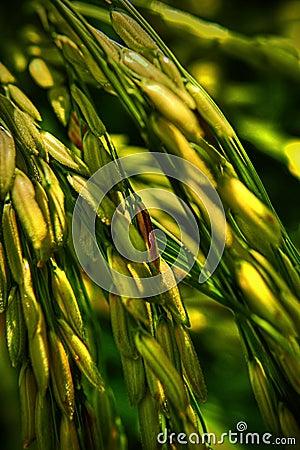Yellowish Paddy