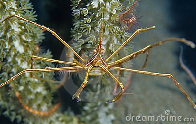 Yellowline arrow crab (stenorhynchus seticornis)
