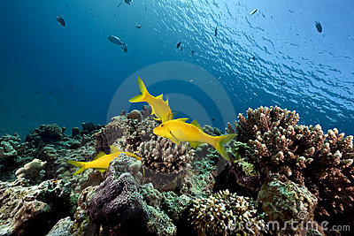 Yellowsaddle goatfish and ocean