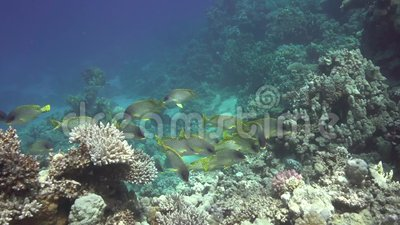 Yellowsaddle goatfish Parupeneus cyclostomus and Blackspotted rubberlip Plectorhinchus gaterinus in Red sea stock video footage