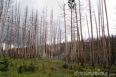 Yellowstone, expired trees