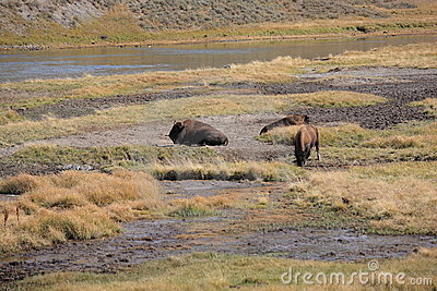 Yellowstone National Park - Grazing Buffalo