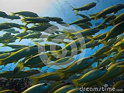 Yellowtail Surgeon Fish Great Barrier Reef