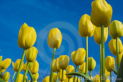 YellowTulips Against the Blue Sky