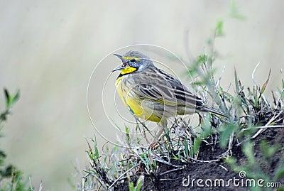 Yelow-throated Longclaw Singing