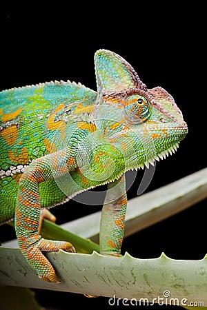 Free Yemen Chameleon Stock Images - 10516494