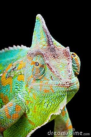 Free Yemen Chameleon Royalty Free Stock Photography - 12140537