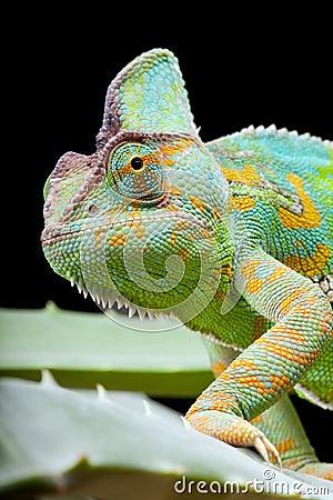 Free Yemen Chameleon Royalty Free Stock Photography - 17386017