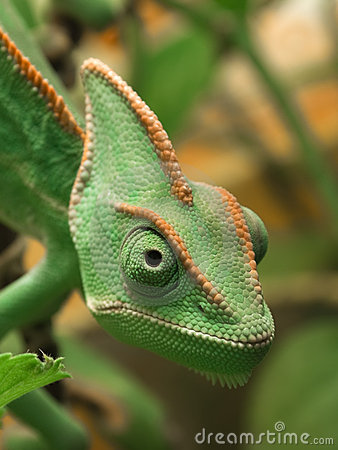 Free Yemen Chameleon Royalty Free Stock Image - 8017496