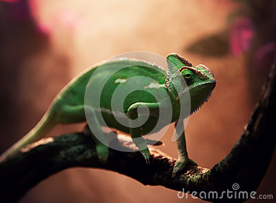 yemen chameleon in terrarium stock photo image 46722391. Black Bedroom Furniture Sets. Home Design Ideas