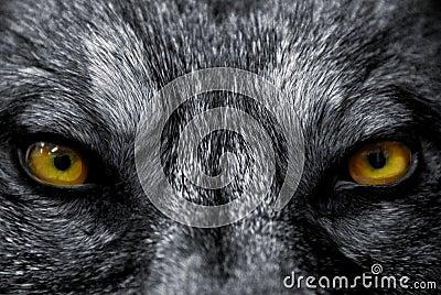 Yeux de loup