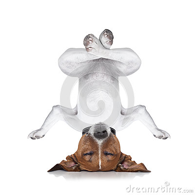 Free Yoga Dog Royalty Free Stock Photos - 44699298