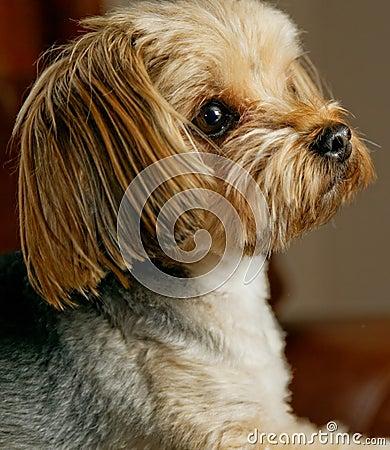 York Dog