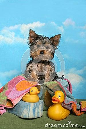 Yorkie in a bath tub