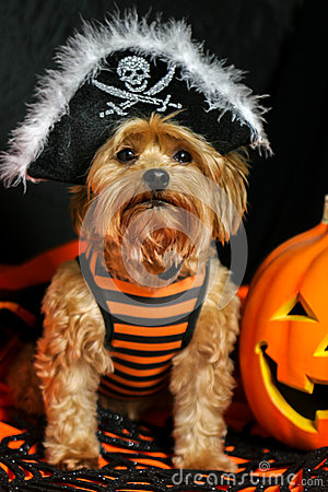 Free Yorkie Dog Wearing Pirate Hat For Halloween Stock Image - 45187101