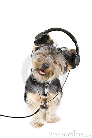 Free Yorkie Headphones Royalty Free Stock Photo - 8253755