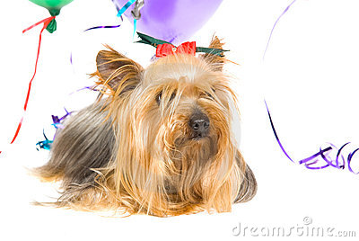 Yorkie with party balloons