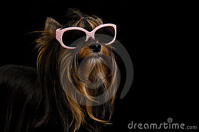 Yorkie with pink sun glasses