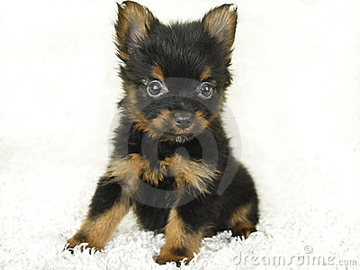 Yorkie - Pom Puppy