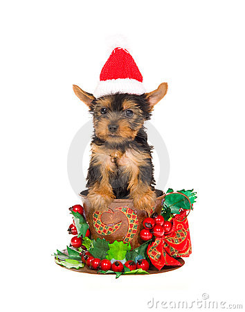 Free Yorkie Pup With Santa Hat Inside Christmas Cup Royalty Free Stock Images - 10151639