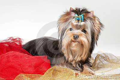 Yorkie Puppy On Clothes Stock Photos Image 23387663