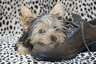 Yorkie Puppy lying on Shoe