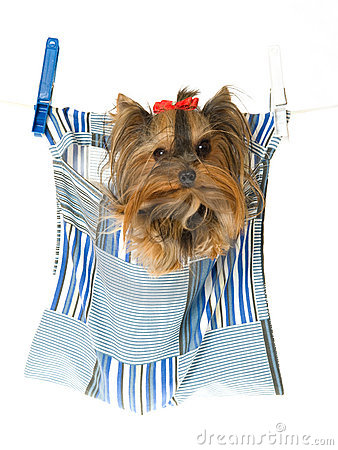 Yorkie sitting in clothes pin bag