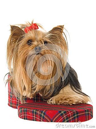 Yorkie sitting inside tartan gift box