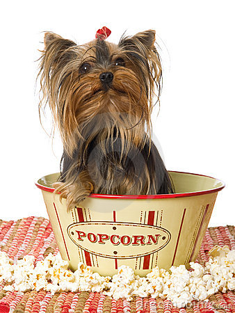 Yorkie sitting in popcorn bowl