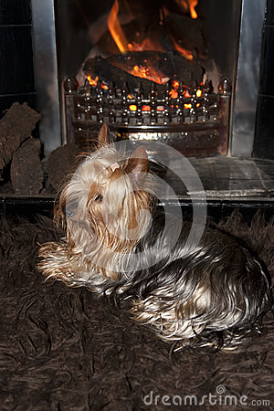 Yorkie terrier relaxing in front of fire