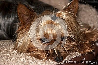 Yorkie terrier resting in its basket