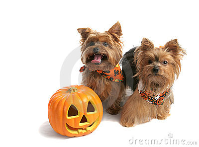 Yorkies Trick Or Treat