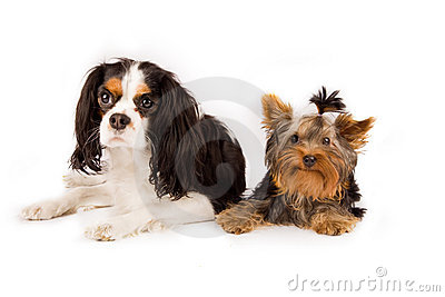 Yorkshire  and cavalier king charles spaniel - dog