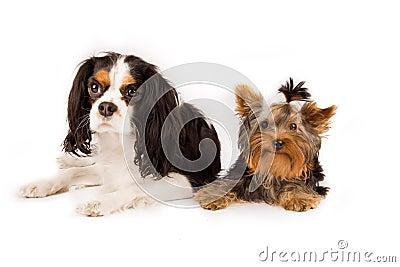 Yorkshire  and cavalier king charles spaniel - dog