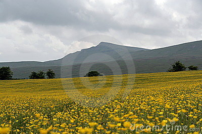 Yorkshire Dales, Buttercup Field