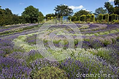 Yorkshire Lavender - United Kingdom