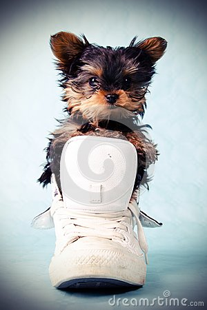 Yorkshire pup in shoe
