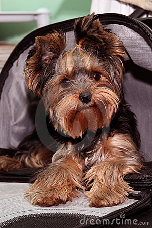 Free Yorkshire Terrier Stock Photos - 11174163