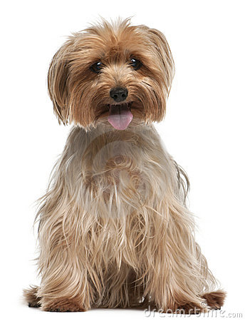 Yorkshire Terrier, 14 years old, sitting