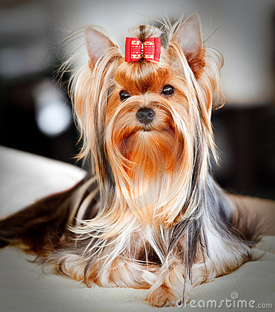 Free Yorkshire Terrier Royalty Free Stock Photo - 15450685