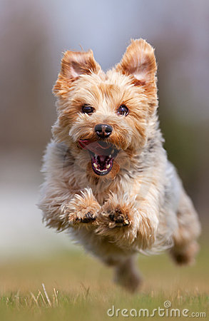 Free Yorkshire Terrier Royalty Free Stock Photography - 19471807