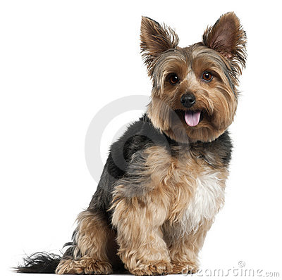 Yorkshire Terrier, 2 years old, sitting