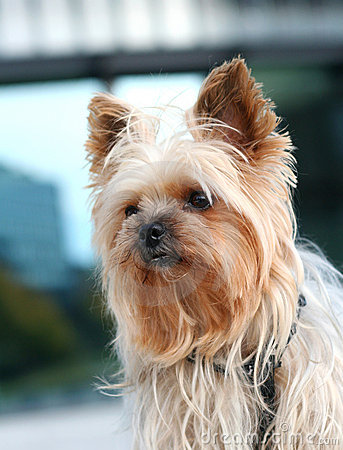 Free Yorkshire Terrier Royalty Free Stock Photography - 7080897