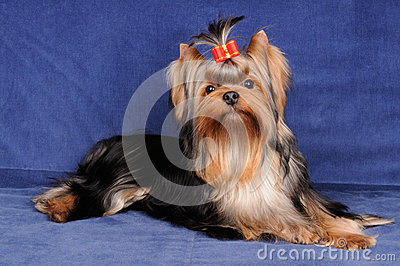 Yorkshire Terrier on blue background