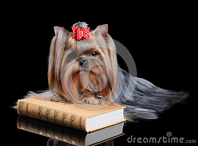 Yorkshire Terrier on the book