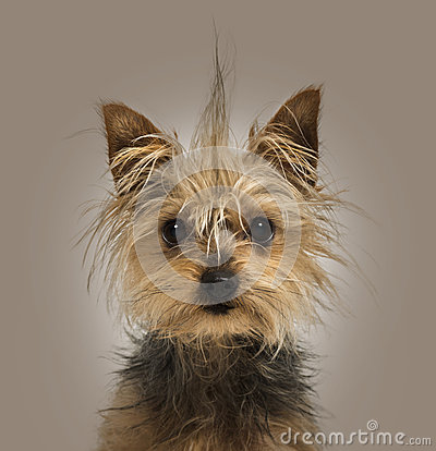 Yorkshire Terrier with a crest, sitting, looking at the camera