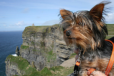 Yorkshire Terrier on a day out