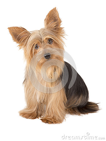 Free Yorkshire Terrier Dog Royalty Free Stock Photography - 36283797